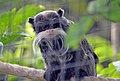 Tamarin empereur (Zoo Amiens).JPG
