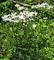 Tanacetum corymbosum subsp subcorymbosum 2 RF.jpg
