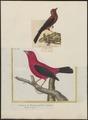 Tanagra brasilia - 1833-1839 - Print - Iconographia Zoologica - Special Collections University of Amsterdam - UBA01 IZ15900227.tif