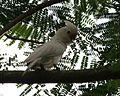 Tanimbar Cockatoo (Cacatua goffiniana) - Flickr - Lip Kee.jpg