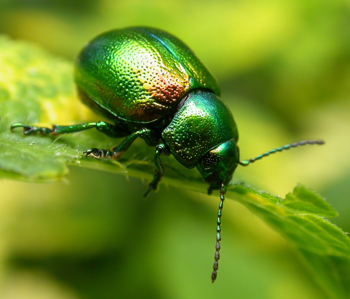 File:Tansy beetle.png