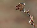 Tarucus balkanicus 01.jpg