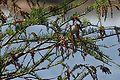 Taxodium ascendens Okefenokee 1.jpg