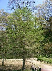 Taxodium distichum7.jpg