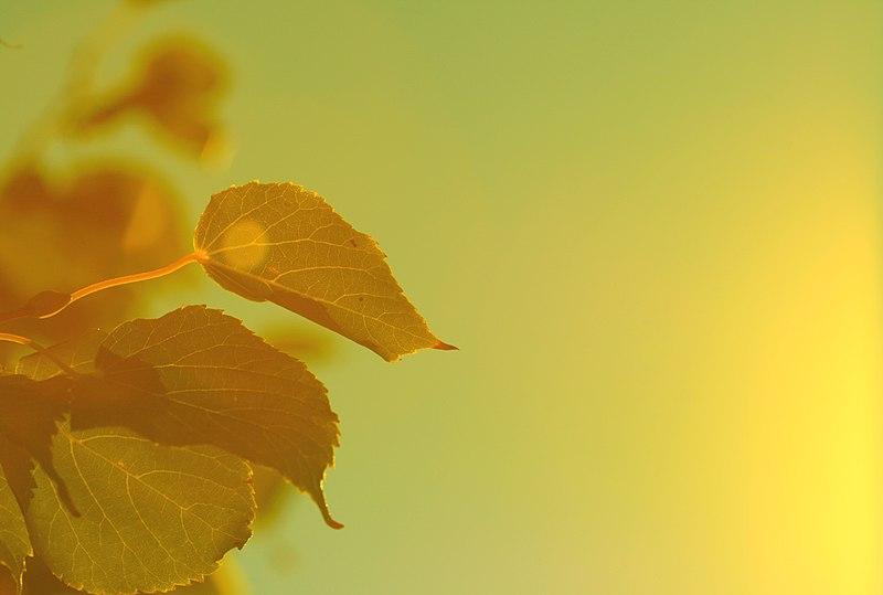 File:Tender Dawn Sunlight and Leaves (3963128566).jpg