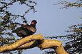 Terathopius ecaudatus, Solio Ranch, Kenya 1.jpg