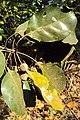 Terminalia bellerica 07.JPG