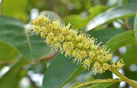 Terminalia chebula - flowers.JPG