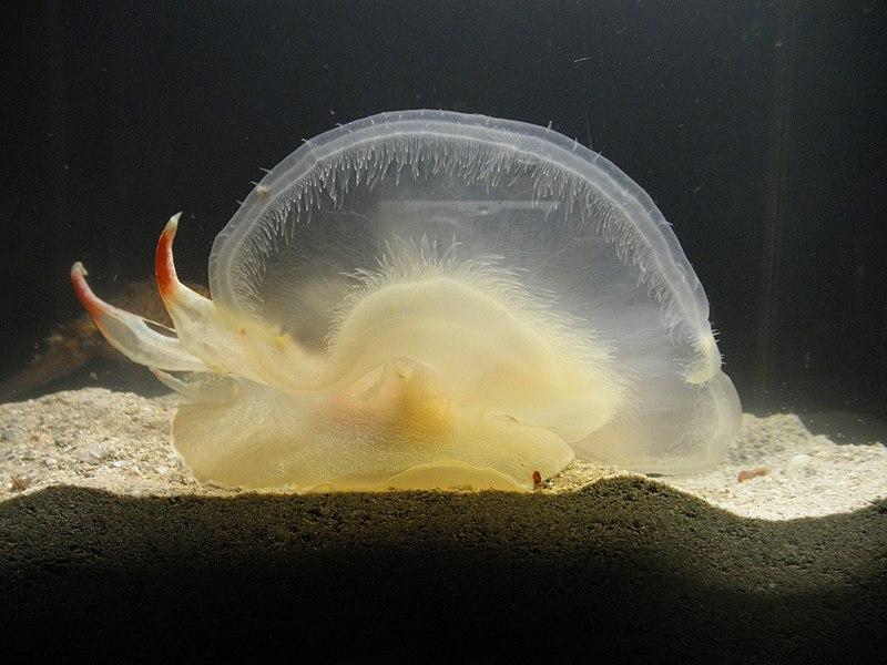 File:Tethys fimbria velum.jpg
