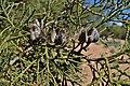 Tetraclinis articulata kz38 Morocco.jpg