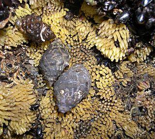 <i>Thais</i> (gastropod) Genus of gastropods