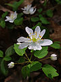 Thalictrum thalictroides - Rue Anemone.jpg