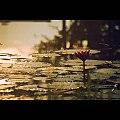 The Bloom at Dawn.jpg