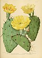 The Cactaceae (Plate XXV) (6025953875).jpg