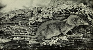 African giant shrew species of mammal