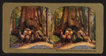 The Famous Wawona Tree Tunnel and Coach, Cal, from Robert N. Dennis collection of stereoscopic views.png