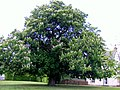 The Horse Chestnut in Blossom - geograph.org.uk - 820385.jpg