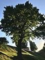 The Oak in Tsaritsyno 1.jpg