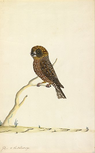Southern boobook - The painting by Thomas Watling on which Latham's description is based