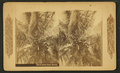 The cocoanut (coconut) palm, Florida, from Robert N. Dennis collection of stereoscopic views.png