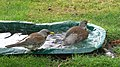 The fieldfares in the bath 01(js).jpg