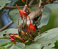 Thick-billed Flowerpecker (Dicaeum agile) on Helicteres isora W IMG 1380.jpg