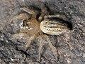 Thiodina puerpera female 02.jpg