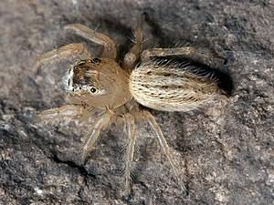 A small whitish spider: its abdomen and the front of its head are clothed in dense white hairs.