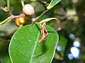 Thrips infesting Ficus tree (3976810620).jpg