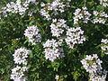 Thym en fleurs à Grez-Doiceau 001.jpg