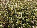 Thymus vulgaris 2020-06-06 9343.jpg