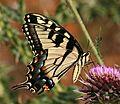 Tiger Swallowtail (2637046591).jpg