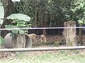 Tigers in Zoo Negara Malaysia (8).jpg