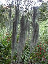 Tillandsia usneoides03.jpg
