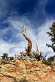 Top of the bristlecone pine branches - Flickr - daveynin.jpg