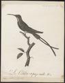 Topaza pella - 1802 - Print - Iconographia Zoologica - Special Collections University of Amsterdam - UBA01 IZ19100235.tif