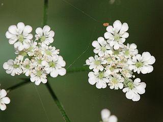 <i>Torilis</i> Genus of flowering plants in the family Apiaceae