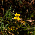 Tormentille-Fleur-20141018.jpg