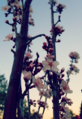 Tree Blossoms.png