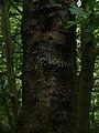 Tree Trunk in Linn Park - geograph.org.uk - 1342638.jpg