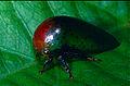 Treehopper (Membracidae) (14096407805).jpg