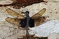 Treehugger Dragonfly (Tyriobapta torrida) male (23473156695).jpg