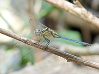Tri-coloured Marsh Hawk Orthetrum luzonicum Male by kadavoor.JPG