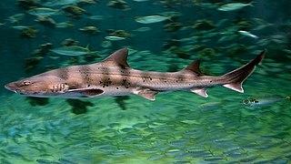 Banded houndshark Species of shark