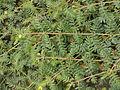 Tribulus terrestris Russia (habitus).jpg