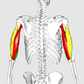 Triceps brachii muscle07.png