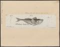 Trichodon stelleri - 1700-1880 - Print - Iconographia Zoologica - Special Collections University of Amsterdam - UBA01 IZ13200081.tif