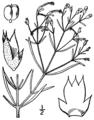 Trichostema setaceum BB-1913.png