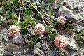 Trifolium argutum kz5.jpg