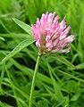 Trifolium pratense bgiu.jpg